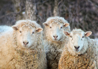 Three commercial ewes