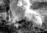Ewe with newborn lamb