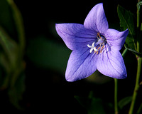 Balloon Flower One