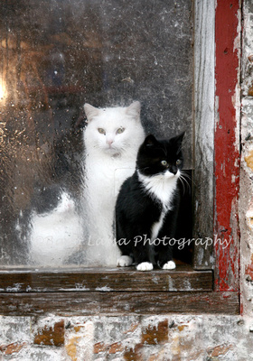 Three cats in old barn window