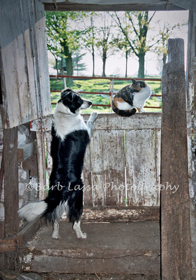 Border Collie with hissing cat
