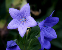 Balloon Flower two